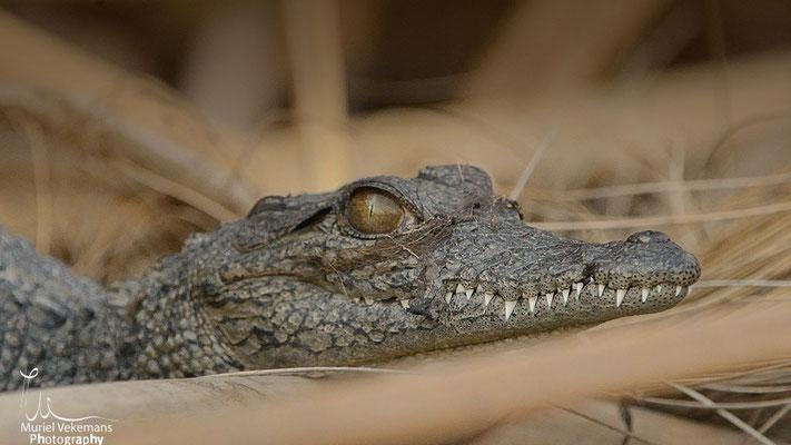 Kwando river bébé crocodille