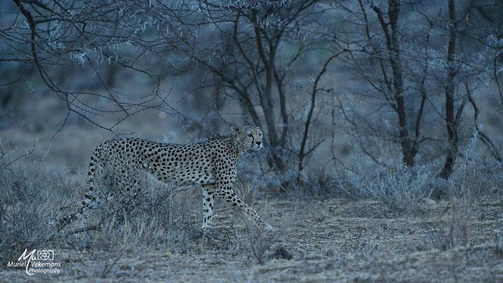 Samburu Guépard
