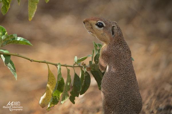 Samburu Écureuil terrestre