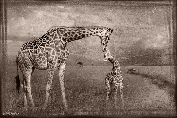 Kenya Masaï Mara juillet 2011
