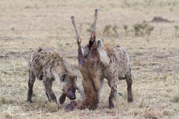 Hyènes Kenya