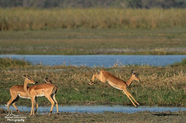 Mahango impala