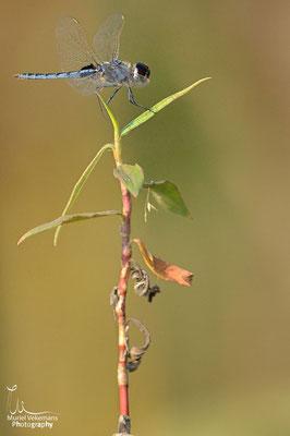 Okavango river libellule