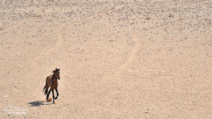 Garub point d'eau, chevaux sauvages.