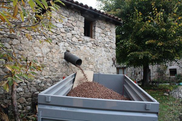 évacuation des châtaignes sèches du séchoir (la clède) avant le décorticage