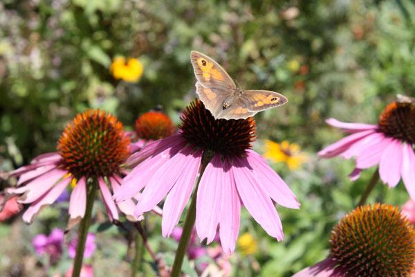 Fleur d'échinacea du jardin butinée par un papillon