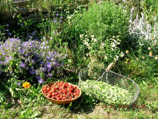 Récolte au jardin