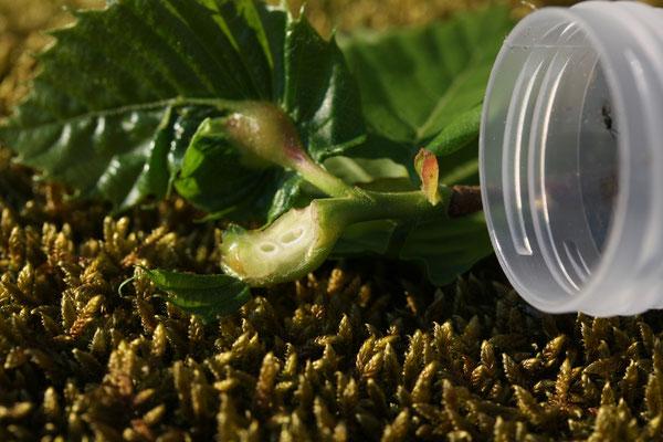 Miam, une larve fraîche de Cynips !