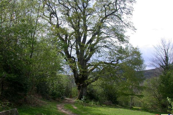Un Chêne vénérable, tout près de la maison à aller saluer