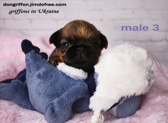 brussels griffon puppy for sale.