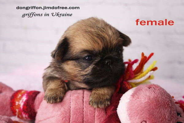 Brussels Griffon puppies for sale. Griffon female red rough