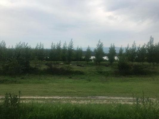 Donauradweg mit Kühen