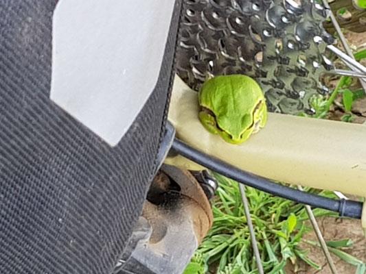 Der Frosch an der Kassette gut getarnt