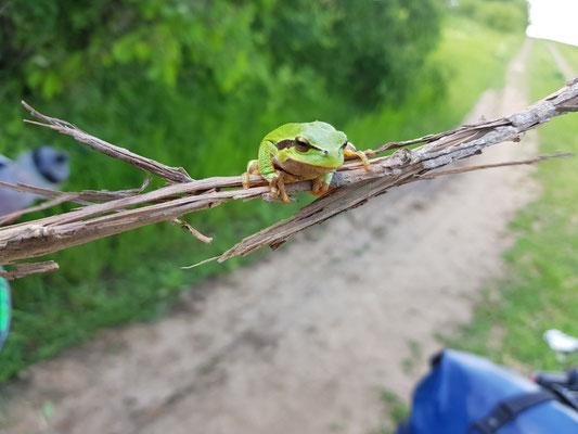 Der Frosch beim Posen