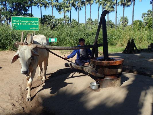 Ausflug zum Mount Popa. Auf dem Weg nach kur angehalten um der Pressung von Palm Sugar zuzugucken....