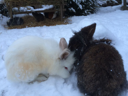 Bartkaninchen Jeronimo mit Holly im Schnee