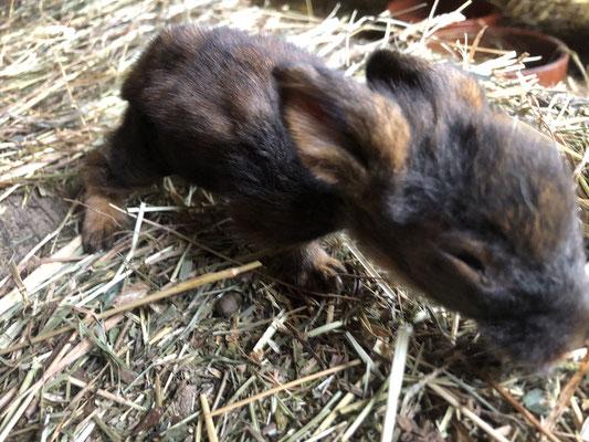 junges Bartkaninchen, 2 Wochen alt
