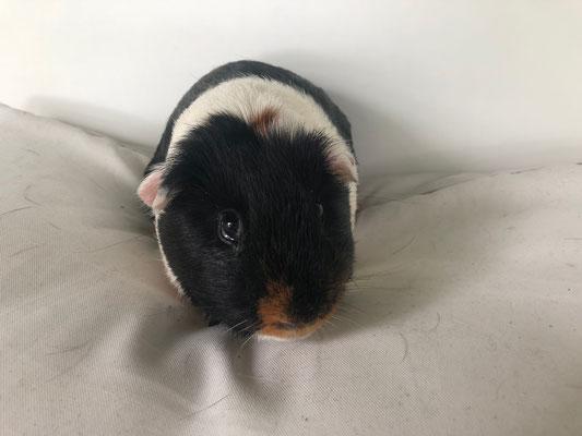 Meerschweinchen Böckli Linus