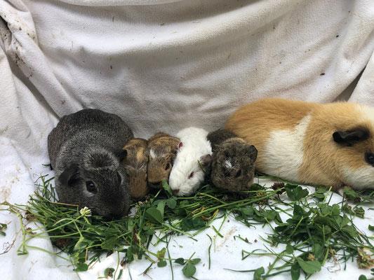 junge Meerschweinchen mit Mutter Elena und Vater Merlin