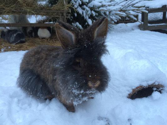 Bartkaninchen Jeronimo im Schnee - Belgisches Bartkaninchen