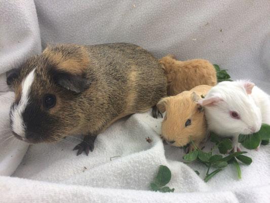 Meerschweinchen Leia mit ihren Jungen