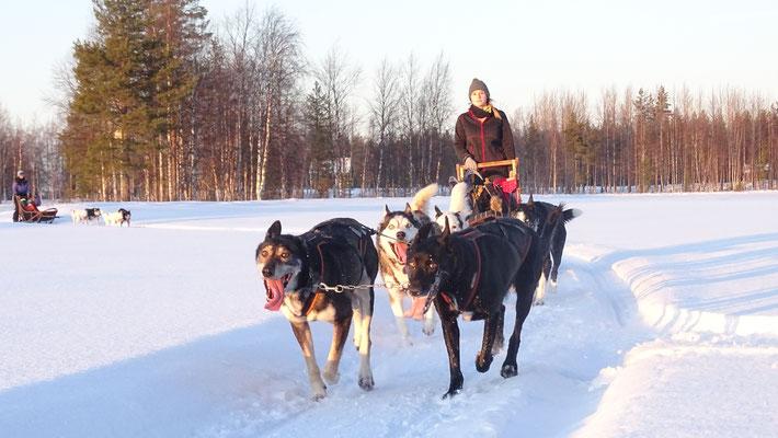 Lappland und Schlittenhunde = Super Winterurlaub