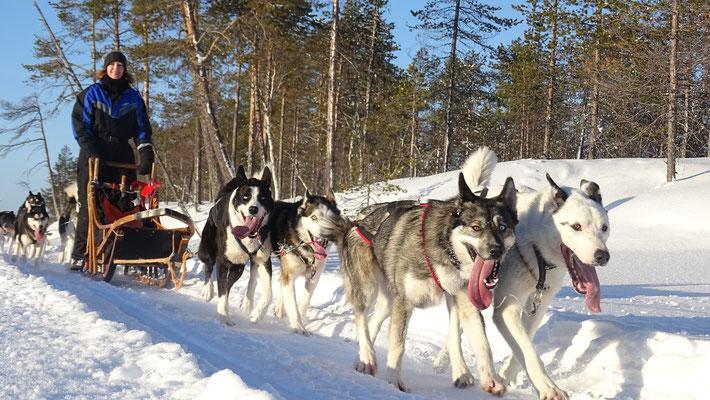 Mit dem Hundeschlitten durch Lapplands Weiten