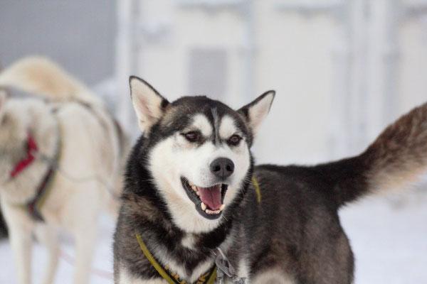 Siberian husky Spray will laufen