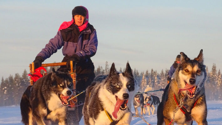 Huskypower in Lappland