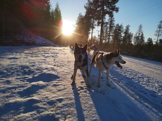 Huskys und Schlittenhundetouren in Lappland