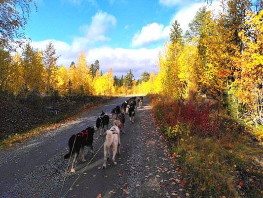 Lapplands Drag Huskyfarm und Schlitetnhundetouren in Schweden