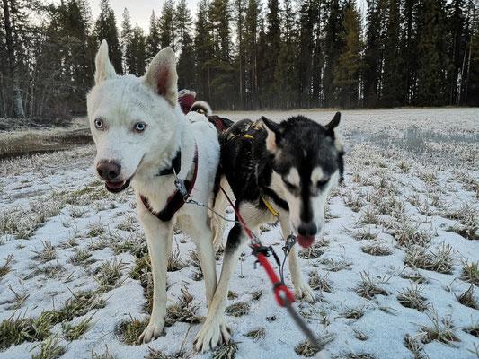 Bacon und Lucia im Hundegespann
