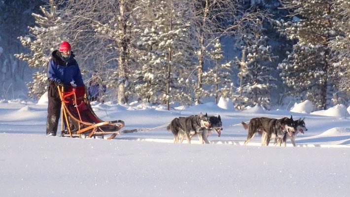 Eine Schlittenhundetour in Lappland erleben