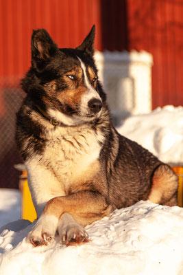 Sibirischer Husky Kaiko beim Entspannen