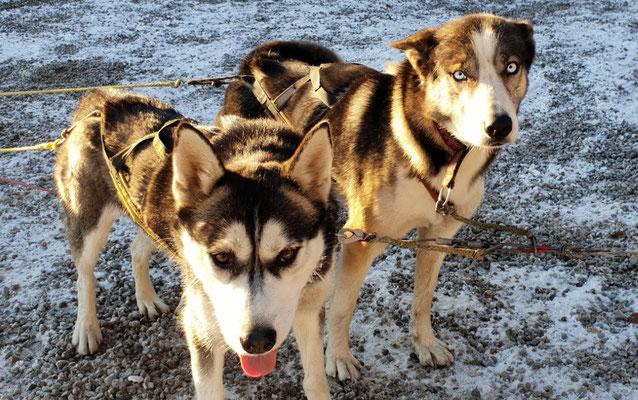 Unsere Schlittenhunde Joda und Spray vor dem Quad