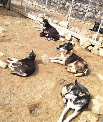 Entspannungsrunde bei den Sibirischen Huskys