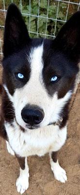 Inuit, der Schlittenhund