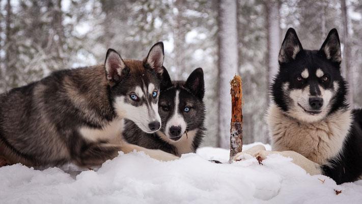 Der Siberian Husky ist ein toller Schlittenhund