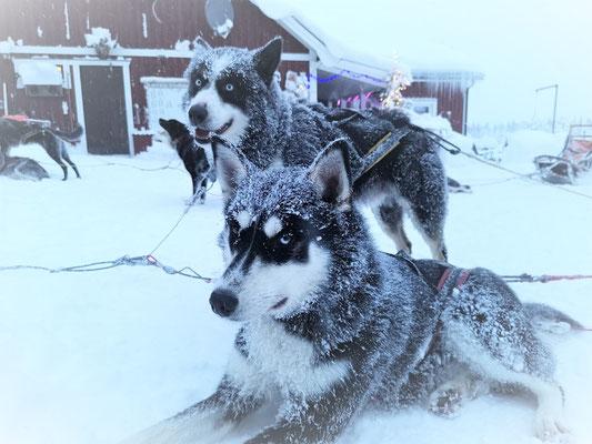 Schlittenhunde nach der Tour in Lappland -unser Knockout und Tutnix