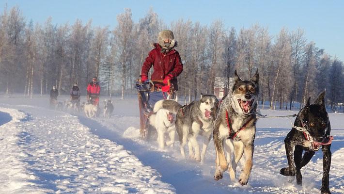 Huskyfahrt im winterlichen Schweden