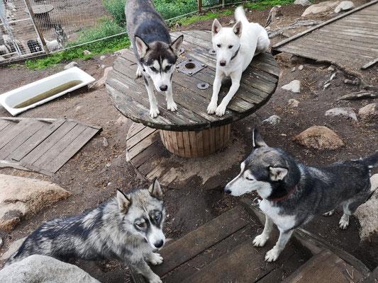 Schlittenhunde in ihrer Sommerpause (Spray, Lenny, Blixten und Fenja)