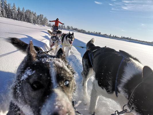 Hundeschlittentouren in Schweden erleben