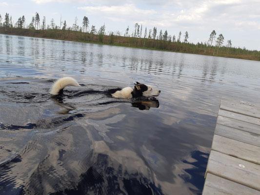 Zumo zieht seine Runden (Lappland Huskyfarm)