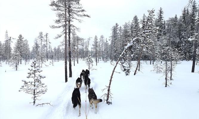 Huskytouren in Lappland-Schweden