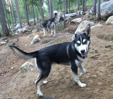 Husky Quest hat viel Spaß im Wald