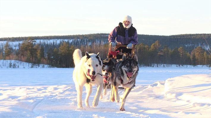Huskyfarm & Schlittentouren in Lappland