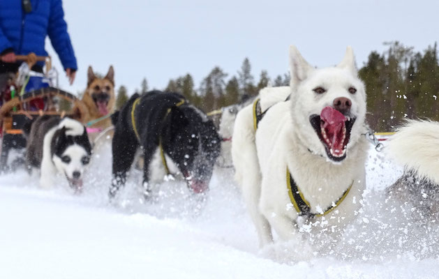 Siberian Huskys in voller Aktion