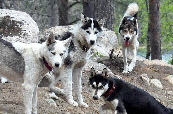 Unsere Schlittenhunde leben im Rudel in Lappland