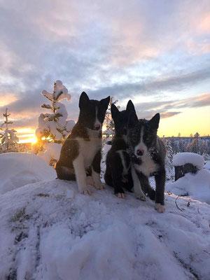 Unsere Siberian Husky Welpen Shadow, Sky und Senja