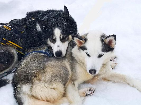 Entspannt nach der Huskytour: Xero und Bailey